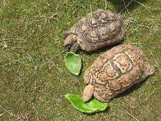 Prickly Pear Cactus 6 Pads for Pet Food - Tortoise, Reptile - Grassland Species, Home Grown, Nutrient Rich, Healthy
