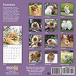 2020 Pomeranians Wall Calendar by Bright Day, 16 Month 12 x 12 Inch, Cute Dogs Puppy Animals Pom-Pom Canine 5