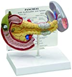 Pancreas Spleen and Gallbladder Normal Classroom Anatomical Model