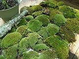 Live Moss Mix Combo Kit/Cladonia Lichens/Plants for Terrariums Vivariums Garden