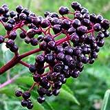 American Elderberry plant (Sambucus canadensis) [TE035]