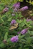 "Lo & Behold Blue Chip Jr. Butterfly Bush - 4"" Pot - Buddleia - Proven Winnters"