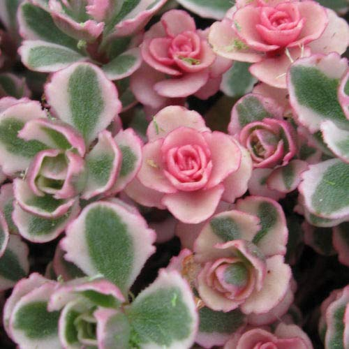 - 1 Tricolor Sedum Spurium Succulent Variegated Stonecrop Succulents in 2 inch Pot Plant Fresh Beautiful