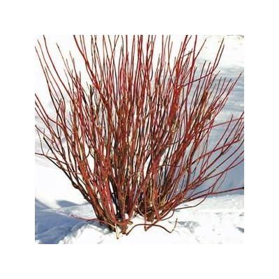 Cornus-Arctic-Fire - QT Pot (Shrub) : Garden & Outdoor