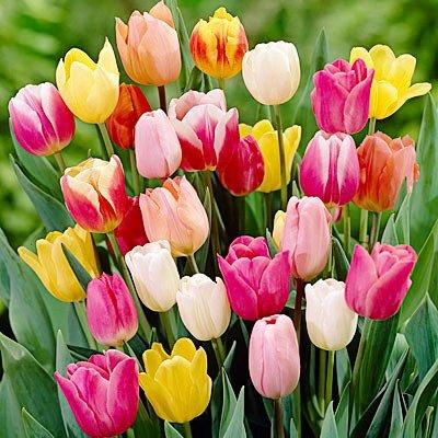 100 Landscape Mixture Tulip Bulbs - Tulipa Triumph