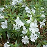 Outsidepride Mimulus White - 2500 Seeds