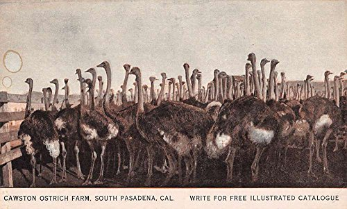 Antique Ostrich - South Pasadena California Cawston Ostrich Farm Antique Postcard K93097