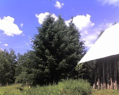 """10 Balsam Fir (Abies balsamea) 6-12"""" seedlings"""