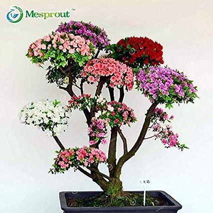 200PCS Azalea Tree Bonsai Seeds Green Sakura Home Garden Planting Free Shipping