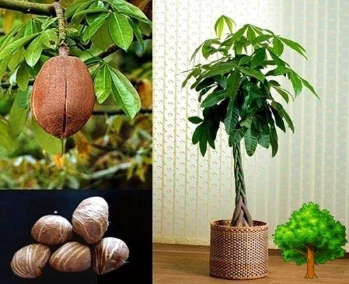 10 MONEY TREE MALABAR CHESNUT EXOTIC PACHIRA AQUATICA SEED TROPICAL EDIBLE - Nut Malabar
