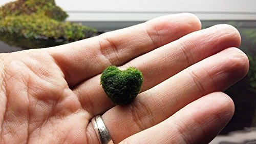 Luffy Heart Marimo: Unique Heart-shaped Rare Live plant that brings good luck, charm & prosperity: Perfect gift for Every Occasion