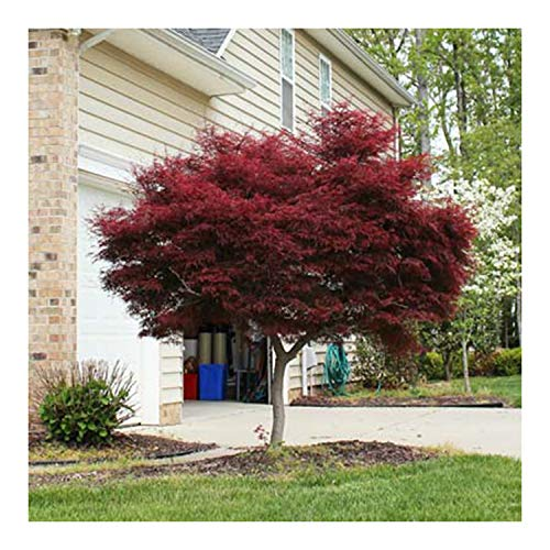 Japanese Maple Acer palmatum Tree - 3.5'' potted 1' - 2' tall Healthy Plant - 2 pack by Growers Solution by Growers Solution (Image #2)