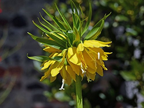 (Yellow Crown Imperial Lily -1 Bulb(Fritillaria imperialis 'Lutea Maxima') )
