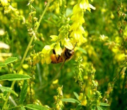 ¼oz to 8oz Bee Wildlife Forage Seeds Yellow Sweet Blossom Clover Seed