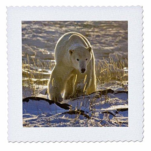 3dRose qs_70244_1 Canada, Manitoba, Hudson Bay, Churchill Polar Bear-CN03 BJA0005-Janyes Gallery-Quilt Square, 10 by 10-Inch