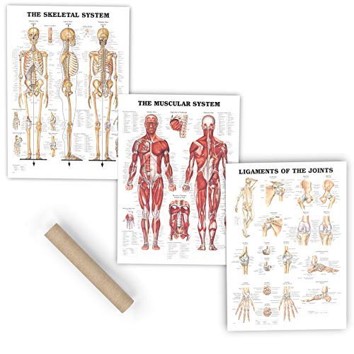 Premium Laminated Anatomy Poster Set - (3 Pieces) Includes Muscular, Skeletal, Ligaments of The Joints Medical Charts - Designed for Professional Use - Perfect for Learning and Teaching Human Anatomy