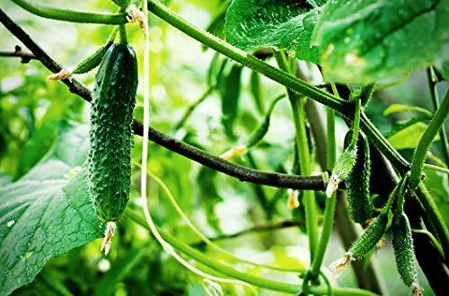 Seeds Cucumber Indoor F1 Room Early Self-pollinated Pickling Vegetable Heirloom Ukraine