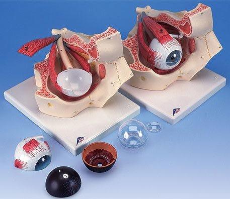 3B社 眼球模型 視覚器(眼球)と眼窩3倍大7分解モデル (f13)   B003Z2SFCK