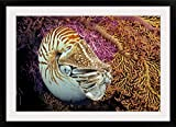 GreatBIGCanvas ''Indonesia, Chambered Nautilus'' by Dave Fleetham Photographic Print with Black Frame, 36'' x 24''