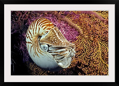 GreatBIGCanvas ''Indonesia, Chambered Nautilus'' by Dave Fleetham Photographic Print with Black Frame, 36'' x 24'' by greatBIGcanvas