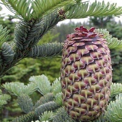 Noble Fir Tree Seeds (Abies procera) 20+Seeds : Garden & Outdoor