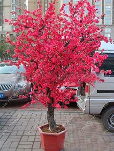 (red0 pcs red Japanese Cherry Blossoms Seed Courtyard Garden Seeds Tree Small Tree)