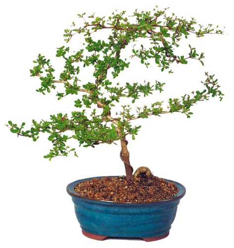 Brussel's Black Olive Indoor Bonsai Tree by Brussel's Bonsai