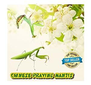 Insectsales.com Chinese Praying Mantis (Live) + Free Fruit Flies & Kit (Educational)