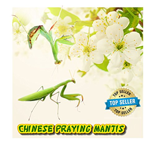 Insectsales.com Chinese Praying Mantis (LIVE) + FREE Fruit Flies & Kit (Educational) by Insectsales.com
