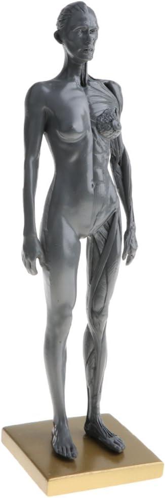 B Blesiya 30cm Figura de Anatomía Humana Modelo de Cuerpo Ósea Muscular de Calavera Herramienta de Estudio Anatómico Médico - Modelo Femenino Gris