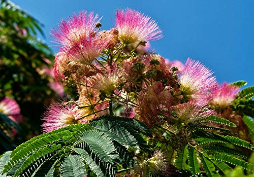 Live Potted Mimosa Tree 8-12+ Inches - Albizia julibrissin VAR. rosea, Silk Tree Tkfarmer ()