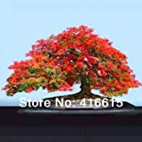 30 Delonix Regia Bonsai Seeds- Royal Poinciana - Flamboyant Tree - Exotic Tree Seed