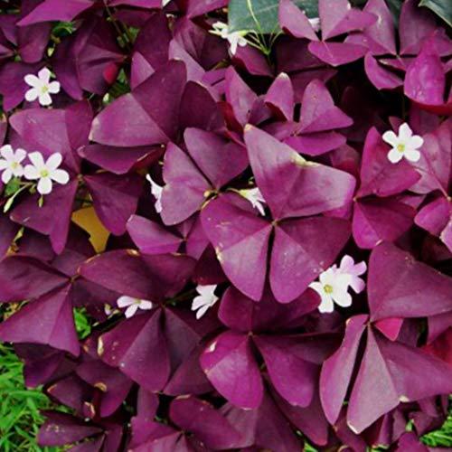 Lioder 20Pcs Purple Shamrock Oxalis Triangularis Seeds Leaf Flower Seeds Garden Plant