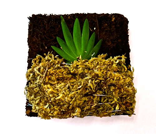 BLOOMIFY Tree Fern Mounted Miniature Oncidium Orchid Without Flower Spike-Long Fiber Sphagnum Moss Wrapped: Psygmorchis - Care Oncidium Orchid