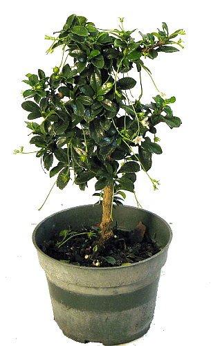 'Mini Fukien Tea' Pre Bonsai Tree - Carmona - 4