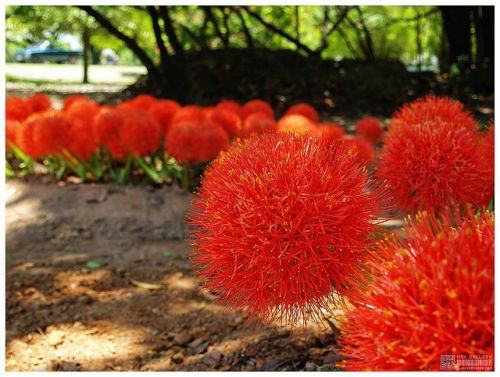 a bulb Blood Lily African Blood Lily Haemanthus multiflorus Red flower mature