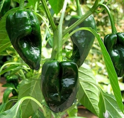 Poblano Chiles - Organic Fresh 2017 ANCHO POBLANO PEPPER 30 seeds PLUS