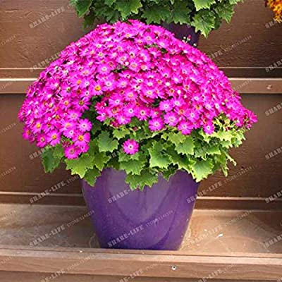 Kasuki 100PCS Florists Cineraria Bonsai 9 Kind Different Bonsai Flowers Pericallis hybrida Bonsai DIY Home and Garden Decor - (Color: 18): Garden & Outdoor
