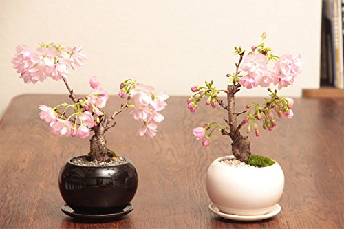 - Higarden Sakura Japanese Seeds pink cherry blossoms Japanese cherry tree seeds, Bonsai flower seeds drop 30 UNIDS