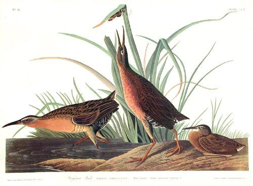 "Virginia Rail.""Birds of America"" (Amsterdam Edition) (Pl. 205)"