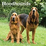 Bloodhounds 2020 12 x 12 Inch Monthly Square Wall Calendar, Animals Dog Breeds Hound 4