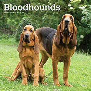Bloodhounds 2020 12 x 12 Inch Monthly Square Wall Calendar, Animals Dog Breeds Hound 3