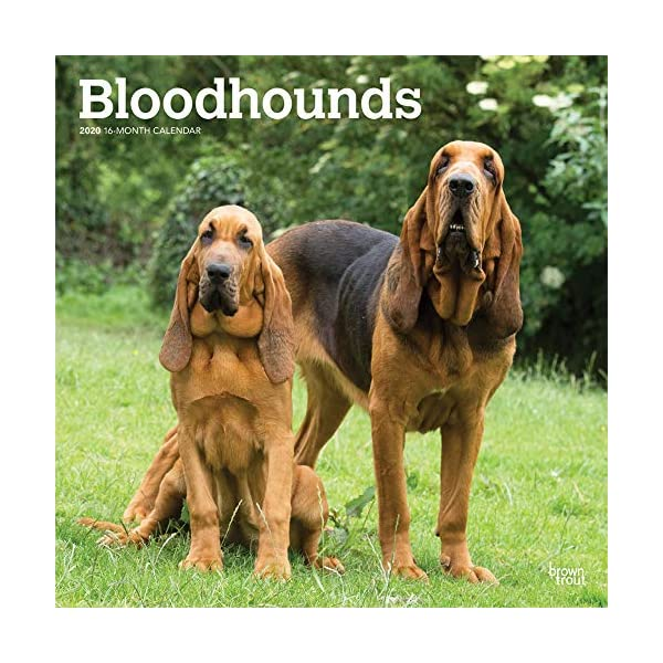 Bloodhounds 2020 12 x 12 Inch Monthly Square Wall Calendar, Animals Dog Breeds Hound 1