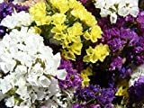 200 Pacific Mix Statice Sinuata Limonium Flower Seeds Garden Home TkLucky72