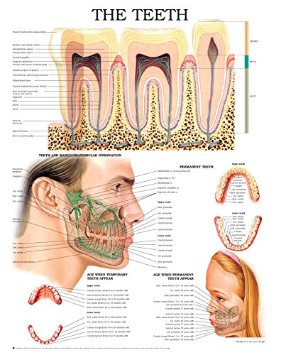 The teeth e chart: Full illustrated (Whitening Chart)