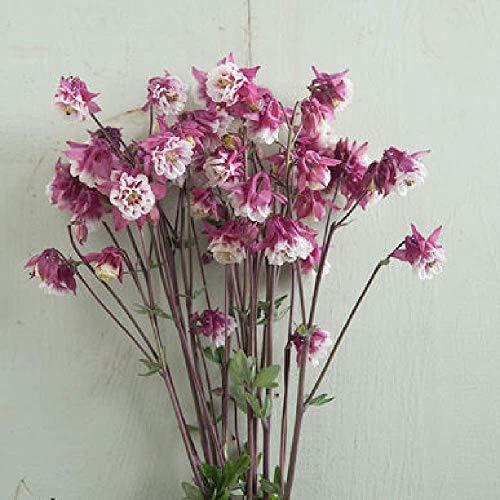 David's Garden Seeds Flower Columbine Pink Petticoat SL3582 (Multi) 50 Non-GMO, Open Pollinated Seeds