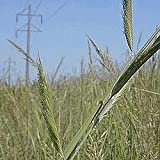 Farmerly 400 Cord Grass Native Grass Seeds