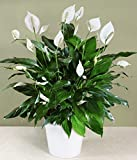 """Peace Lily, 4"""""""