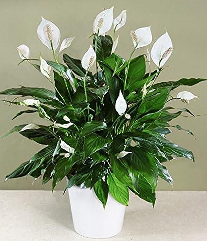 Amazon.com : Peace Lily, 4