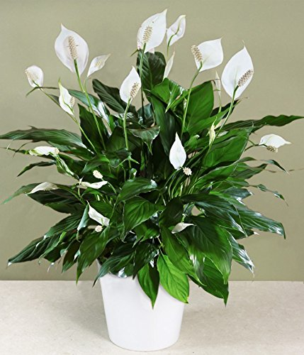 Peace Lilly - Peace Lily, 6